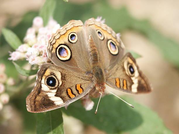 Butterfly (Common Buckeye) Macro stock photo