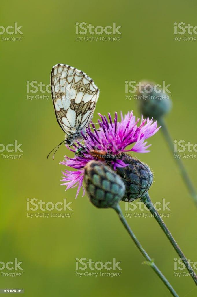 Butterfly Marbled White (Melanargia galathea) on the flower (Cirsium arvense) stock photo