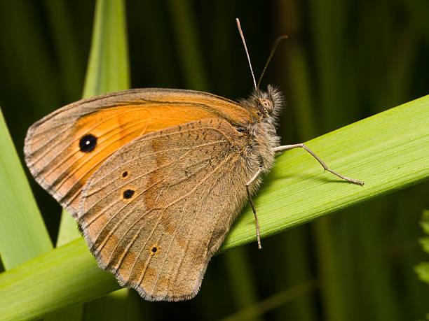 Cтоковое фото Бабочка луг коричневый