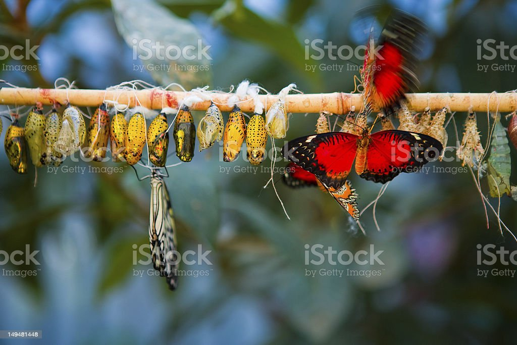 Butterfly Metamorphosis royalty-free stock photo