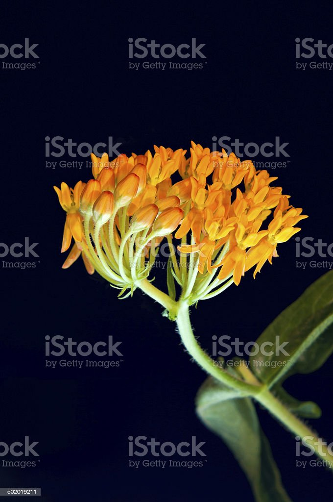 Butterfly Milkweed Buds and Florets stock photo