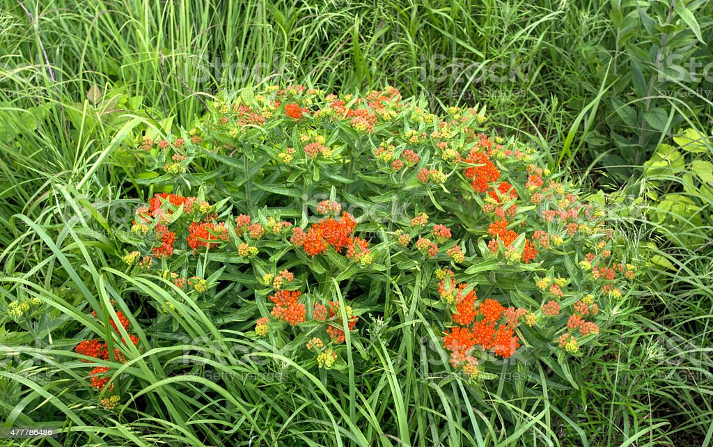 butterfly milkweed with orange blossoms stock photo