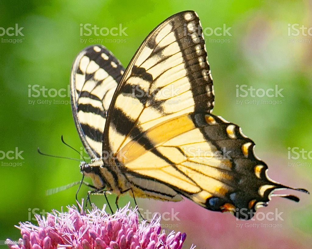 Monar Butterfly 3 royalty-free stock photo