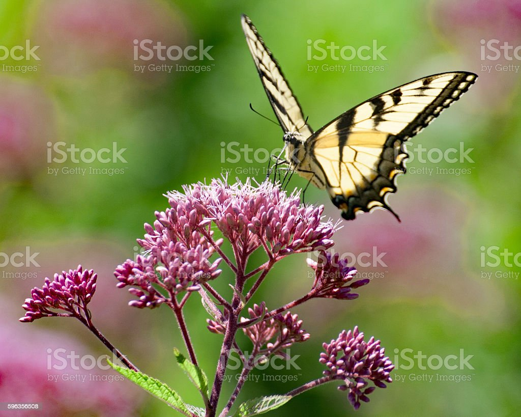 Monar Butterfly 5 royalty-free stock photo