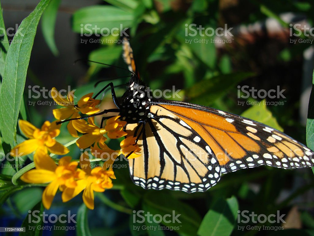 Butterfly Monarch royalty-free stock photo