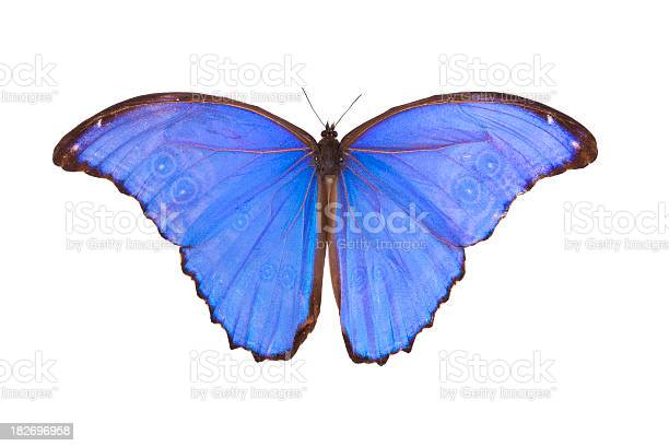 Butterfly Morpho Didius Stock Photo Download Image Now Istock