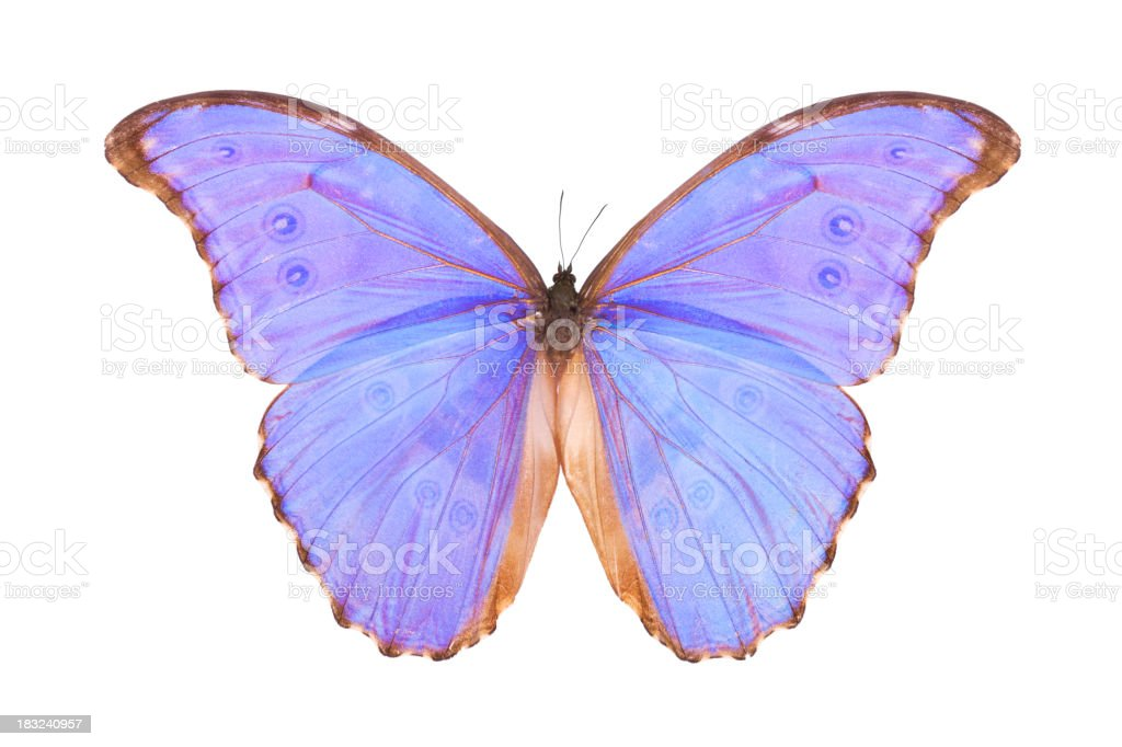 Butterfly Morpho godarti royalty-free stock photo