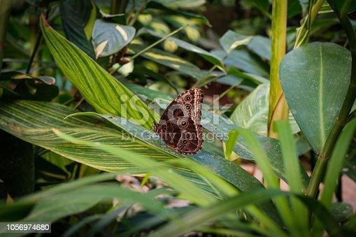 Butterfly Morpho Peleides, the Peleides blue morpho /  common morpho