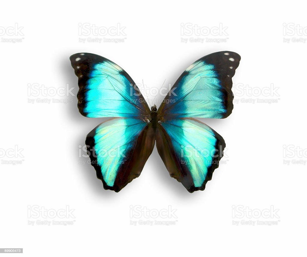 butterfly morpho royalty-free stock photo