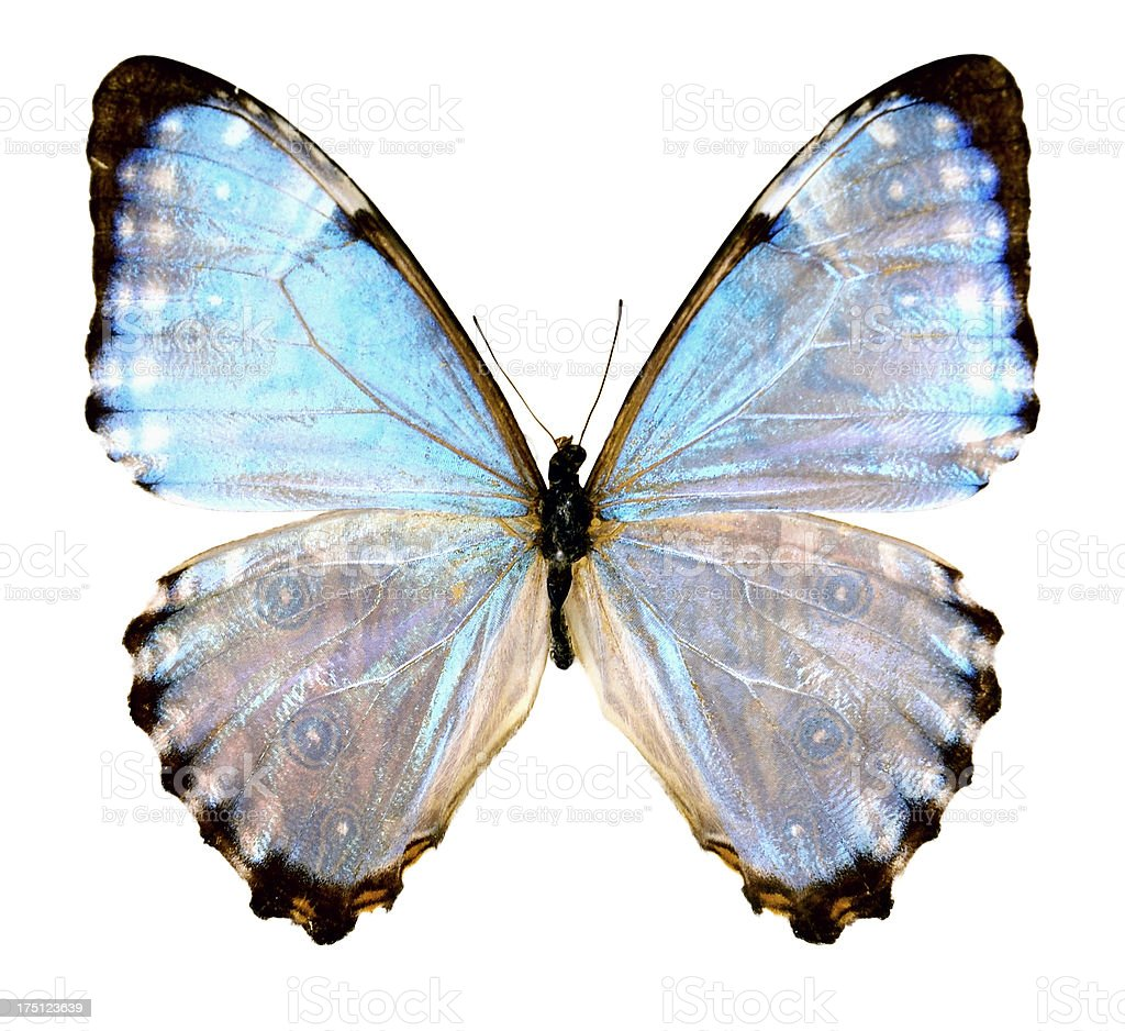 Butterfly Morpho portis female (Clipping path) royalty-free stock photo