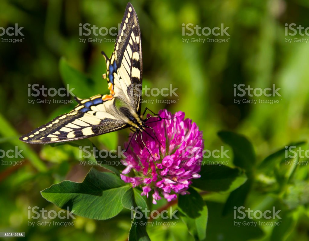 Butterfly - Old World Swallowtail on a Pink Flower stock photo