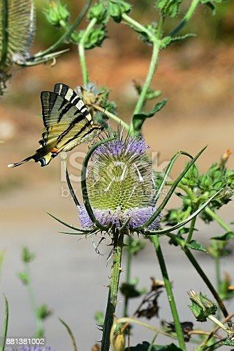 Butterfly Old world swallowtail Papilio Machaon feeding himself on spiky flower, summer daylight