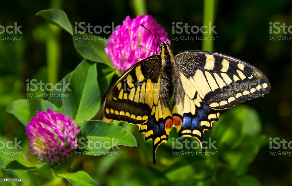 Butterfly - Old World Swallowtail stock photo