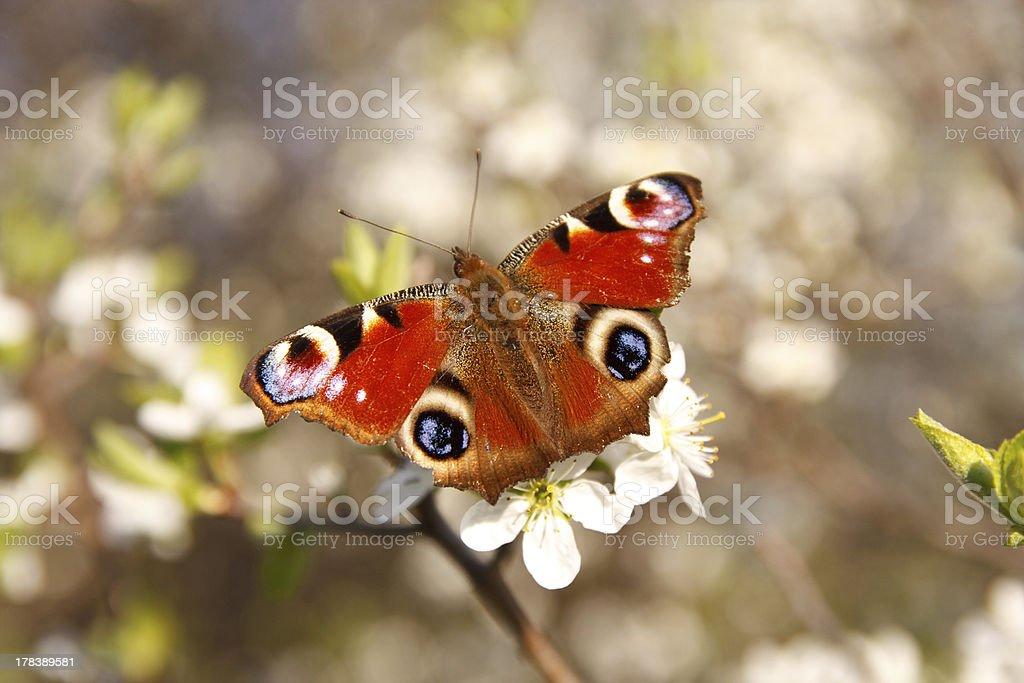 Borboletas em uma flor de damasco - foto de acervo