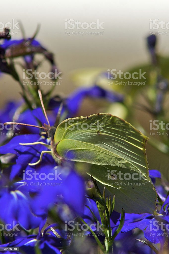 Butterfly on a blue flowers royalty-free stock photo