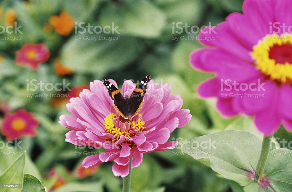 Butterfly on a bright pink flower royalty-free stock photo