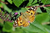 Butterfly sitting on a Bush