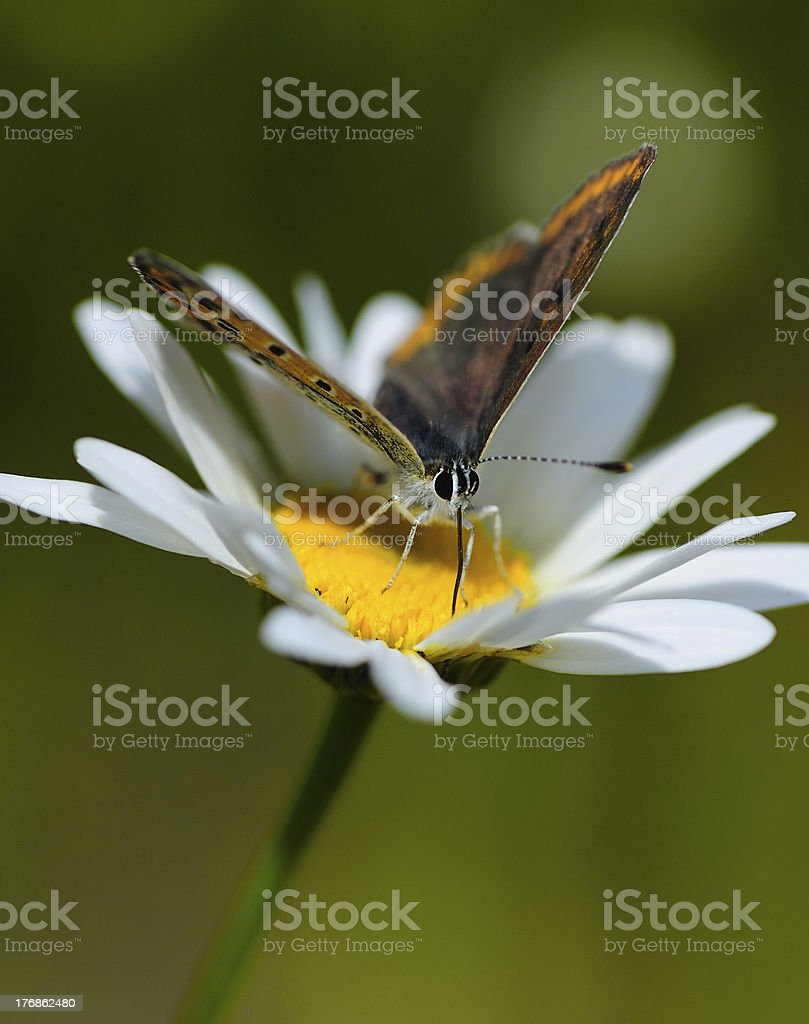 butterfly on a daisy royalty-free stock photo