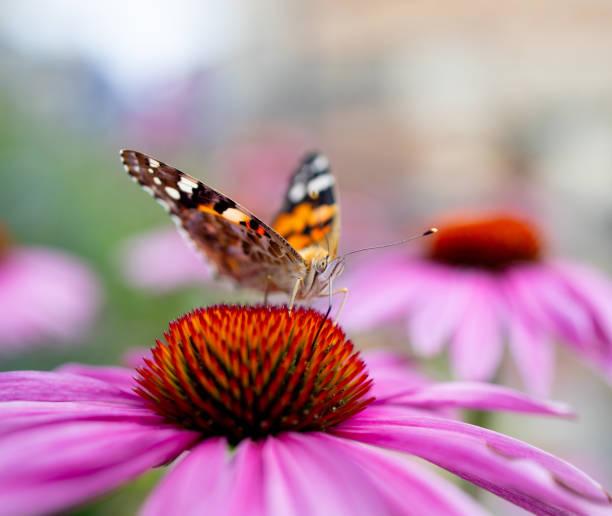 Butterfly on a flower picture id1165778555?b=1&k=6&m=1165778555&s=612x612&w=0&h=hgg ngqsvvmudjmzi6kovgzxavrizimtdy4oqievjfo=