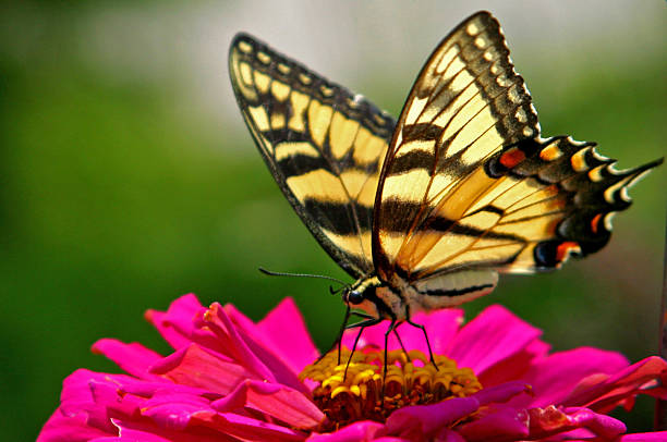 Butterfly on a flower picture id157187293?b=1&k=6&m=157187293&s=612x612&w=0&h= xwzk3h muj6ao7p5b 0co9uru5g595t1gfub5lssts=