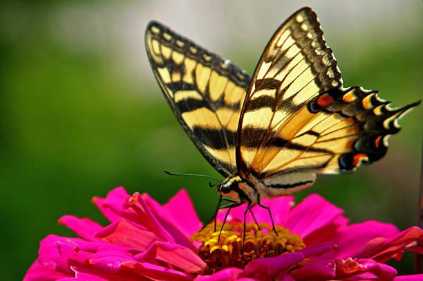 butterfly on a flower - bestuiving stockfoto's en -beelden