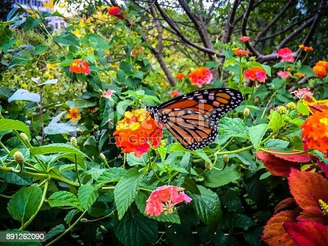 monarch butterfly on yellow and orange lantana flower covered in pollen