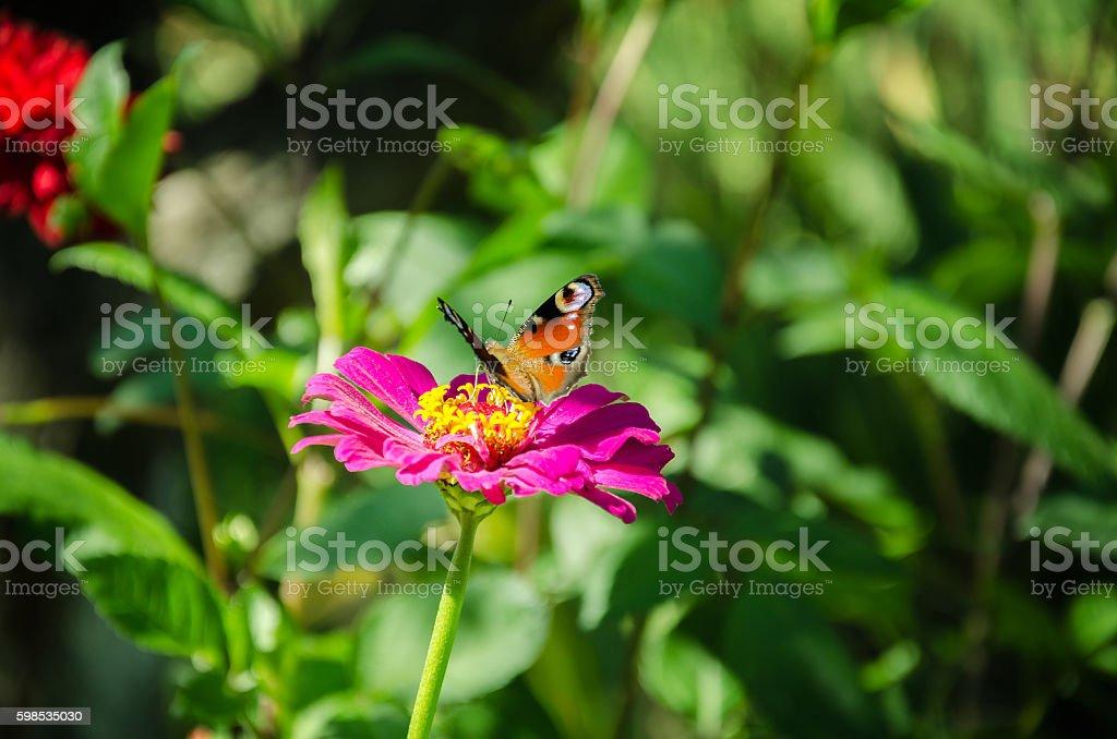 Papillon sur une fleur rose photo libre de droits