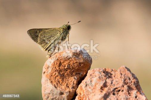 istock butterfly on a rock 493567343