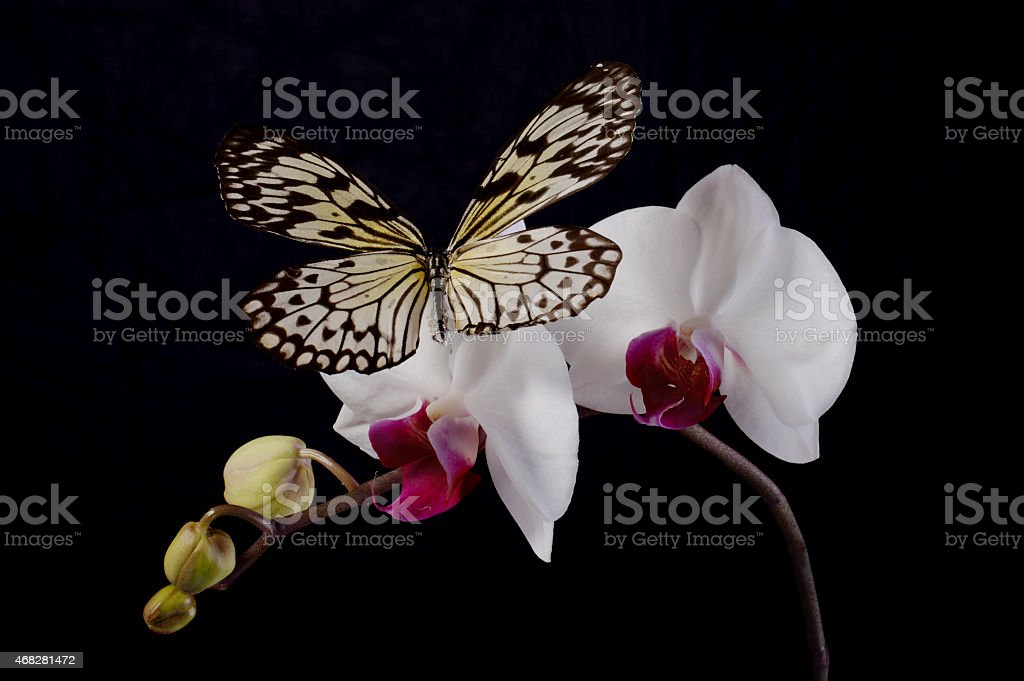 Butterfly on a white orchids. stock photo