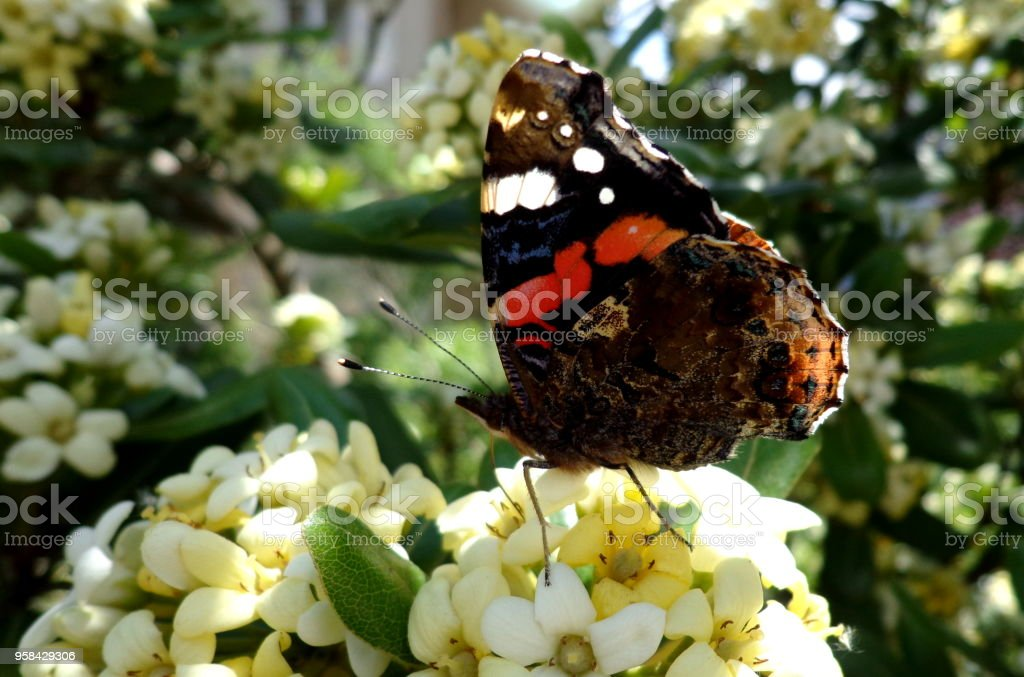 Butterfly on a white scented flower stock photo