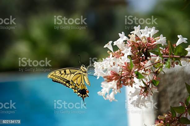 Butterfly on abelia flowers picture id522134173?b=1&k=6&m=522134173&s=612x612&h=pfez3x10xsdylndm6kbfsgzupsp5hwjl0y0e0vhrodo=