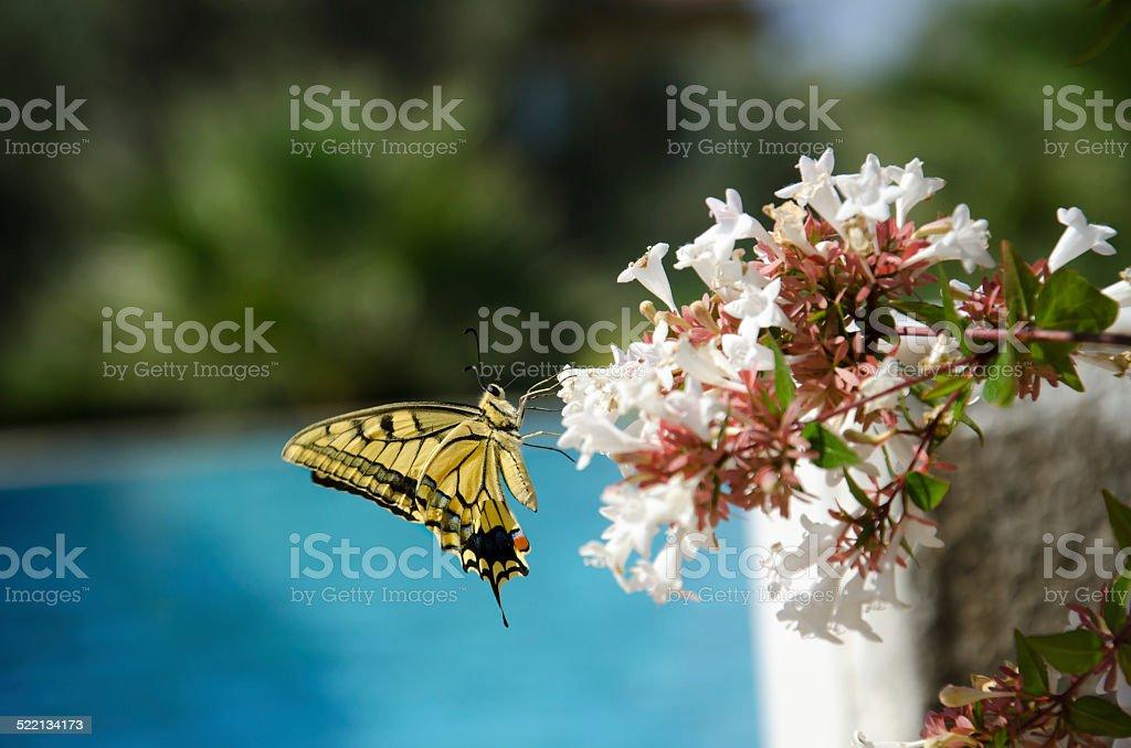 Butterfly on Abelia flowers stock photo