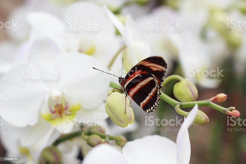 Butterfly on an Orchid Bud royalty-free stock photo