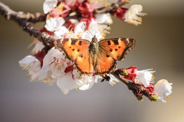 butterfly on apricot blossoms stock photo