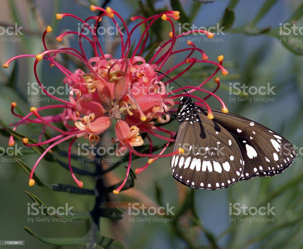 Butterfly on Australian grevillea flower stock photo