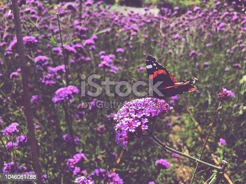 Butterfly landing on textured head of purple wildflowers