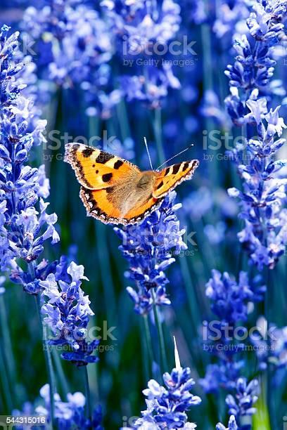 Butterfly on blue flowers picture id544315016?b=1&k=6&m=544315016&s=612x612&h=wdur3yxe enkacl6f2rafydazeql5otcid9y2 9cjsi=