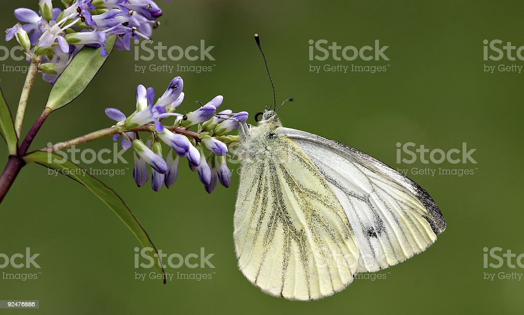 Schmetterling auf Buddleie Lizenzfreies stock-foto