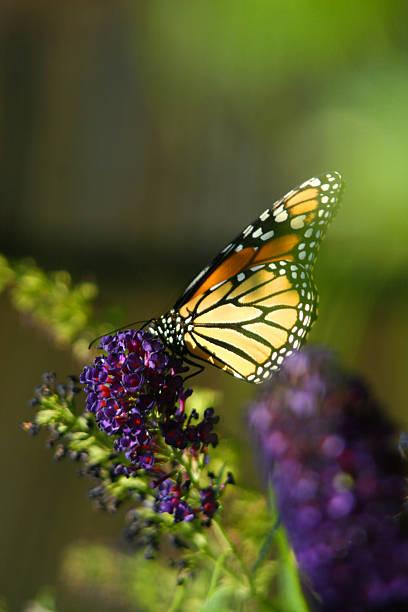 butterfly on bush stock photo