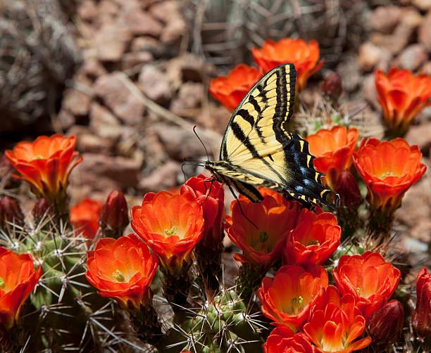 Butterfly on cactus flower picture id185246729?b=1&k=6&m=185246729&s=612x612&w=0&h=kpafskm0dpcid3fgmvgb0zt28hylphvboaelqowch1u=