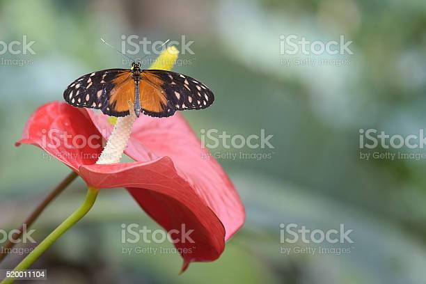 Butterfly on calla picture id520011104?b=1&k=6&m=520011104&s=612x612&h=gpq5mcon0uxcaa3lxu5axqrohmxc65sakzzpa2m6qcq=