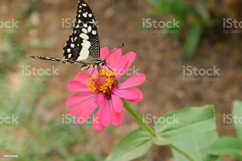 Butterfly on chrysanthemum flower royalty-free stock photo