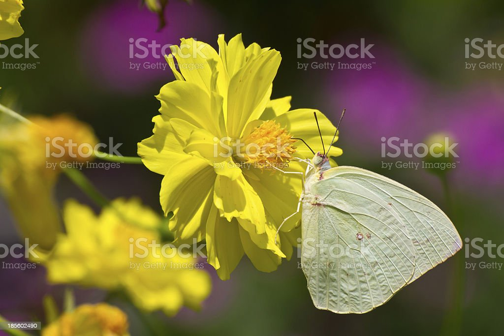 Butterfly on cosmos flower royalty-free stock photo