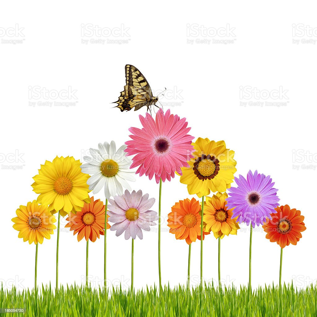 Butterfly on daisies royalty-free stock photo
