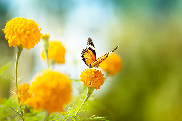Butterfly on daisy flower closeup picture id514274280?b=1&k=6&m=514274280&s=612x612&w=0&h=6st2l8gkjp5db63ccoafz7ghab5hjhjbojsx2 s0mso=