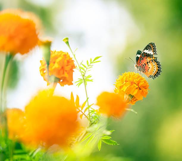 Butterfly on daisy flower closeup picture id514311176?b=1&k=6&m=514311176&s=612x612&w=0&h=lca8cxs5wsnmqxtwj8crldlpvinrf0w9ucrrfd6cglw=