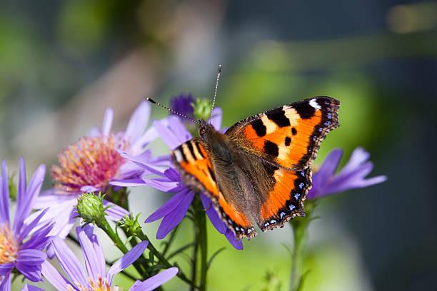 Butterfly on daisy picture id157523600?b=1&k=6&m=157523600&s=612x612&w=0&h=hfppfluig2k3m9y0 igmv0 eglkskazk2dauyudo mm=
