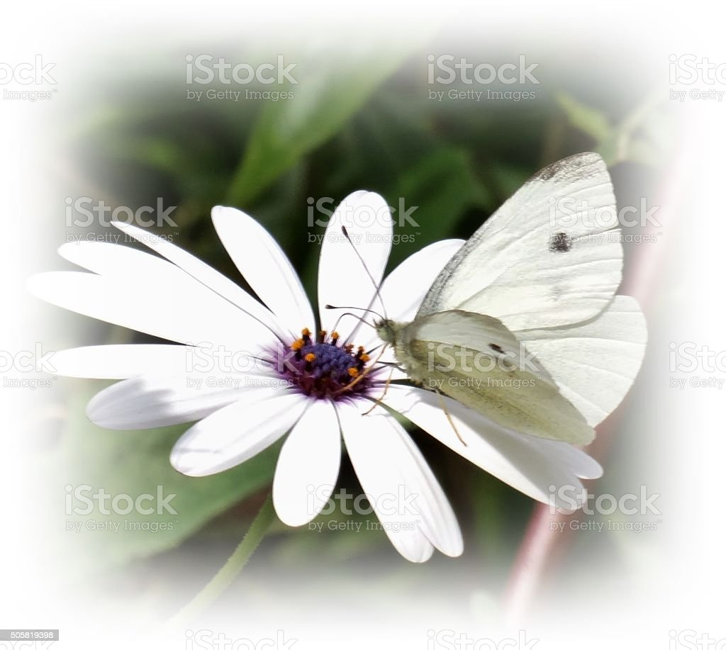 Butterfly on Daisy stock photo
