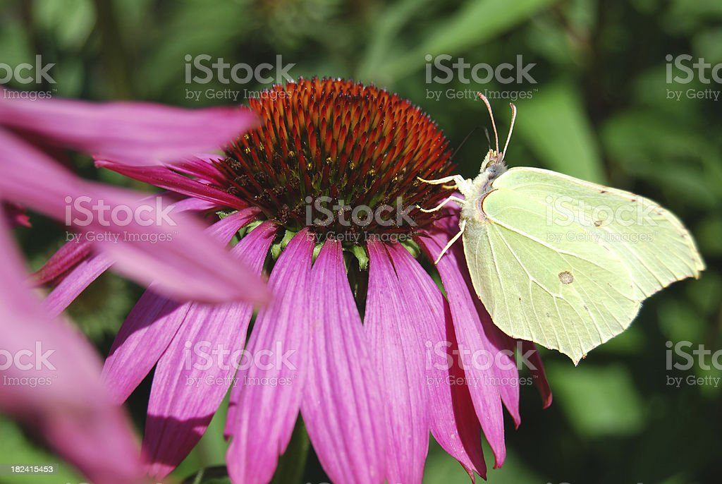Butterfly on Echinacea, or Purple Coneflower stock photo