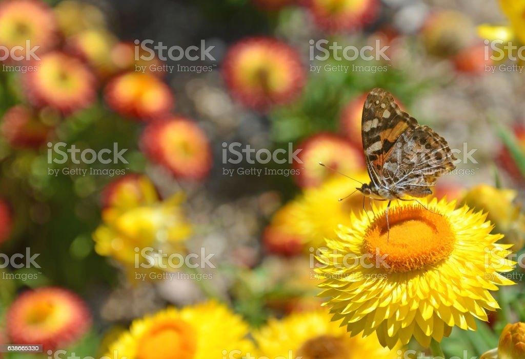 Butterfly on everlasting daisy stock photo